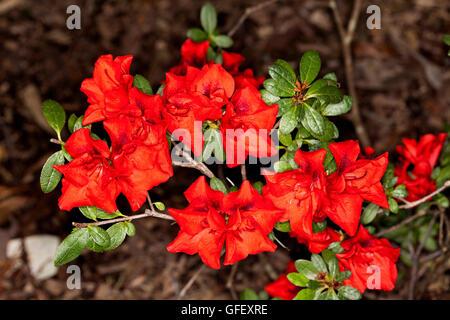 rotes immergr n azalea blumen und pflanze stockfoto bild 56694953 alamy. Black Bedroom Furniture Sets. Home Design Ideas