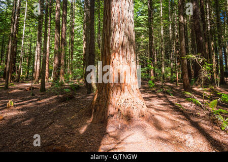 Redwood (Sequoia) Wald in Rotorua, Nordinsel, Neuseeland - Stockfoto