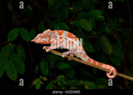 Engels-Chamäleon (Furcifer Angeli), trockenen Wald, nordwestlichen Madagaskar - Stockfoto