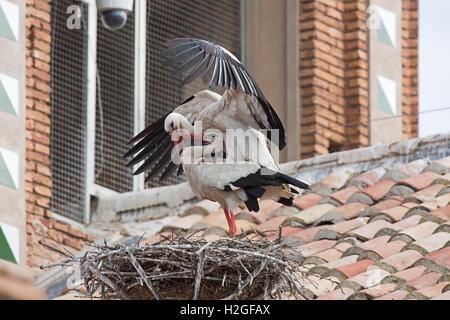 Weißstorch-Ciconia Ciconia paar Maing am Nest auf Kathedrale Alfaro Spanien - Stockfoto