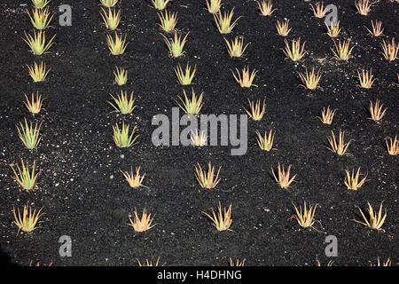 Aloe Vera Plantage mit Orzola, schließen Haria, Lanzarote, Kanarische Inseln, Spanien - Stockfoto