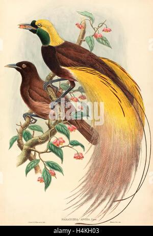 John Gould und W. Hart (Britisch, 1804-1881), Bird Of Paradise (Paradisea Apoda), veröffentlicht 1875 1888, farbige - Stockfoto