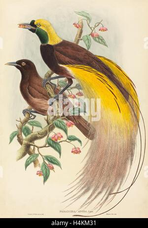John Gould und W. Hart (Britisch, 1804-1881), Bird Of Paradise (Paradisea Apoda), veröffentlicht 1875-1888, handkolorierten - Stockfoto
