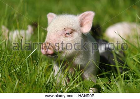 minischwein zwergschwein miniatur schwein mini pig hausschwein stockfoto bild 15387529 alamy. Black Bedroom Furniture Sets. Home Design Ideas