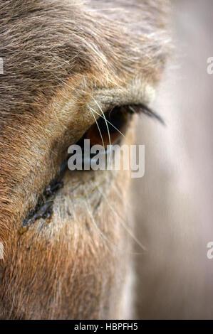 Nahaufnahme des Esels Kopf und Auge - Stockfoto