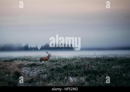 Schöne rote Rotwild Hirsch auf dem Feld in der Nähe von nebligen nebligen Waldlandschaft im Herbst in Belarus. - Stockfoto