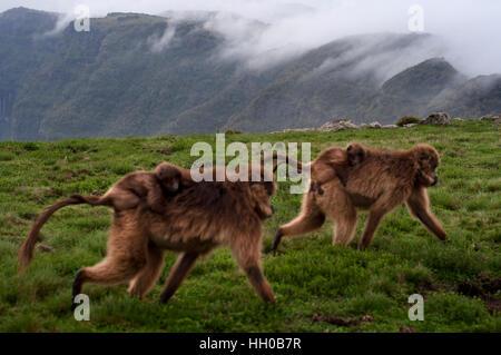 Gelada Pavian (Theropithecus Gelada), Simien Mountains Nationalpark, Amhara Region, Nord-Äthiopien. Gelada Paviane - Stockfoto