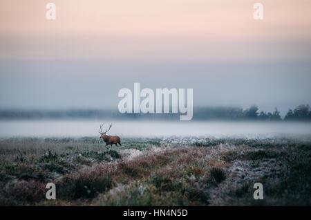 Schöne rote Rotwild Hirsch auf dem verschneiten Feld in der Nähe von nebligen nebligen Waldlandschaft im Herbst - Stockfoto
