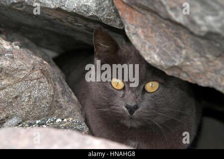 Verlassene, Streu- oder wilde graue Chartreux Katze versteckt sich in den Felsen am Strand. Trap-Neutrum-Return - Stockfoto