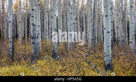 Espe Bäume im Herbst - Stockfoto