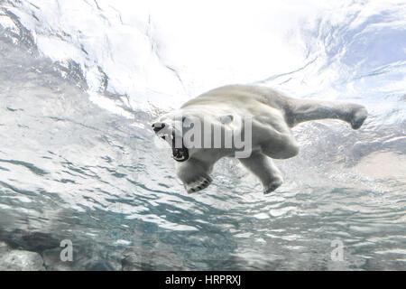 Aggresive Eisbär auf die Reise nach Churchill, Assiniboine Park Zoo, Winnipeg, Manitoba, Kanada. - Stockfoto