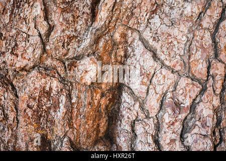Pino Gordo, einer riesigen native Kanarische Kiefer (Pinus Canariensis), ist eine bekannte Sehenswürdigkeit in der - Stockfoto