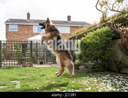 Hund springt - Stockfoto