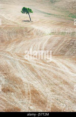 Baum im Feld, Toskana Italien - Stockfoto