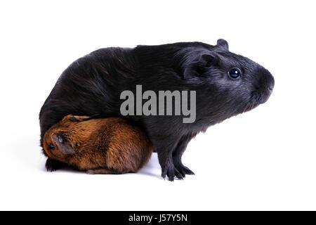 Haustier Nagetier kleine winzige kleine kurze Nachkommen Mutter Mutter Ma Mama Mütter kleine - Stockfoto