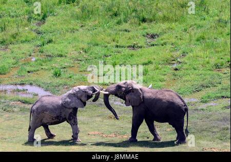 Afrikanische Elefanten im Amboseli-Nationalpark in Kenia. - Stockfoto