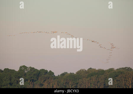 Große Herde der Rosapelikan (Pelecanus Onocrotalus) in der Ferne im Fluß Donaudelta in Rumänien - Stockfoto
