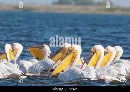 Rosapelikan (Pelecanus Onocrotalus) strömen der Erwachsenen Schwimmen am Fluss Donau, Rumänien - Stockfoto