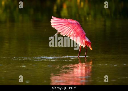 Rosige Löffler (Platalea Ajaja) Flügel ausbreitet - Stockfoto