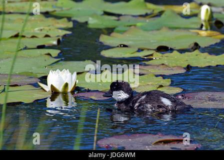 Gemeinsamen Goldeneye (Bucephala Clangula) Entlein und Wildwasser Lilie Blume auf einem Teich - Stockfoto
