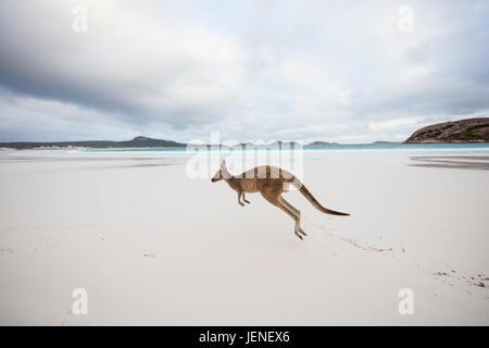 Känguru springen auf Strand, Lucky Bay, Esperance, Western Australia, Australien - Stockfoto
