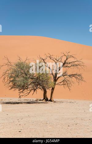Camelthorn Baum (Vachellia Erioloba) vor große Sanddüne, Namib-Naukluft-Nationalpark, Namibia - Stockfoto