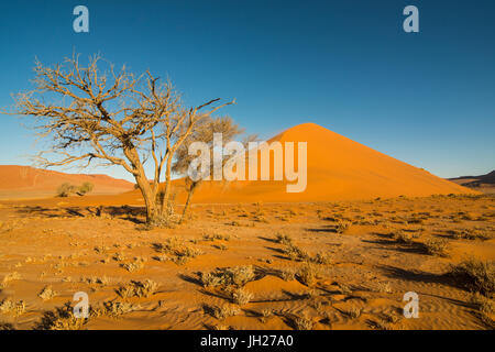Akazie vor der riesigen Sanddüne 45, Sossusvlei, Namib-Naukluft-Nationalpark, Namibia, Afrika - Stockfoto