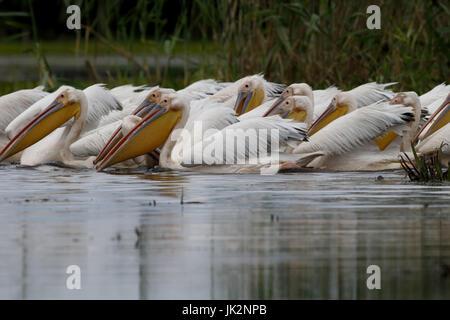 Große weiße-Pelikan, Pelecanus Onocrotalus, große Herde auf Wasser Fütterung, Rumänien, Juli 2017 - Stockfoto