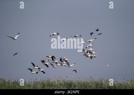 Große weiße-Pelikan, Pelecanus Onocrotalus, große Herde im Flug, Rumänien, Juli 2017 - Stockfoto