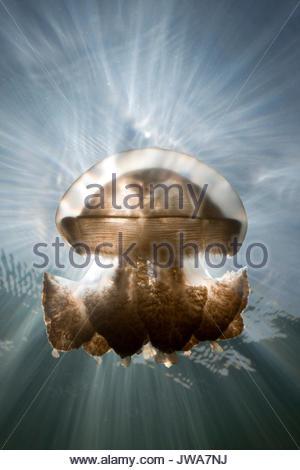 Mastigias Jellyfish im Gegenlicht, Mastigias papua etpisonii, Quallen See, Mikronesien, Palau - Stockfoto