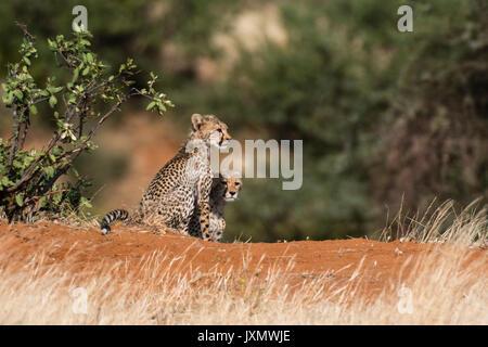 Zwei Jungen Geparden (Acinonyx jubatus), Samburu National Reserve, Kenia, Afrika - Stockfoto