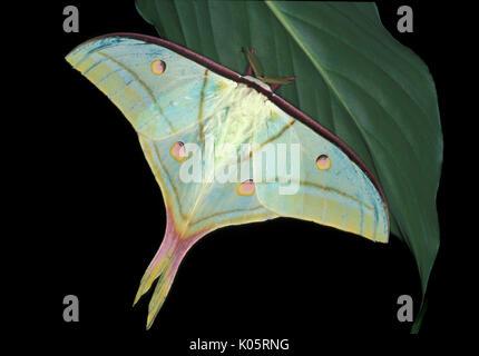 Indian Moon Moth, Actias Selene, Asien, silkmoth, Erwachsene mit Flügeln öffnen - Stockfoto