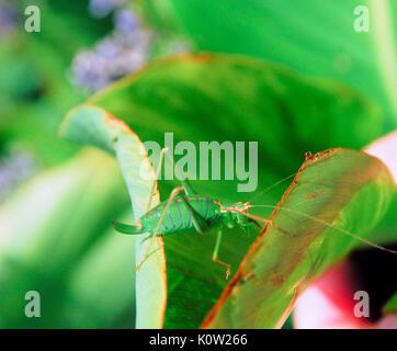 Fortuneswell, Dorset, Großbritannien. 24 Aug, 2017. Warmes Wetter bringt eine weibliche Super Green Bush Cricket - Stockfoto