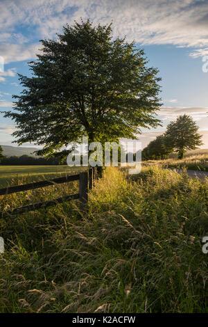 Nahaufnahme einer einzelnen sonnenbeschienenen Baum auf einer einsamen, malerischen, country lane mit anderen Bäumen - Stockfoto