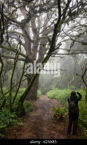 Touristen nimmt Bilder der Bäume im Nebel Wald, Lorbeerwald, Raya la Llania, El Hierro, Kanarische Inseln, Spanien - Stockfoto
