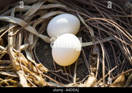 Zwei Eier im Nest eines Vogels - Stockfoto