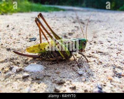 Sehr große Heuschrecke, Farbe grün - Stockfoto