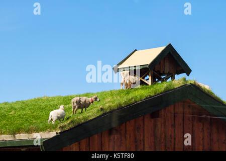 Schafe weiden auf einem traditionellen norwegischen Rasen Dach Gebäude. Lofoten Inseln, Nordland, Norwegen, Skandinavien - Stockfoto