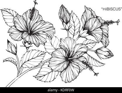 Hibiskus Blume zeichnen Abbildung. Schwarz und Weiß mit Line Art ...