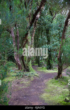 Trail in einer lorbeerwald im Anagagebirge, Cruz del Carmen, Nordseite der Insel, Teneriffa, Kanarische Inseln, - Stockfoto