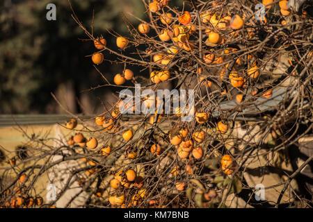 Baum Quitte ohne Blätter und voller Quitten in Monroy, Extremadura, Spanien - Stockfoto