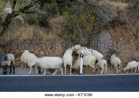 Herde Schafe (Ovis aries) Beweidung am Straßenrand. Die nublo ländlichen Park. Tejeda. Gran Canaria. Kanarischen - Stockfoto