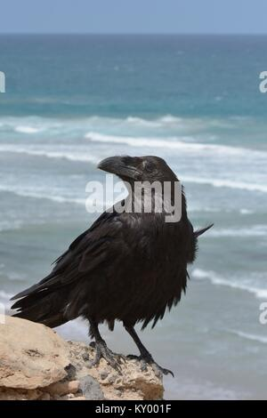 Kanaren Rabe (Corvus Corax tingitanus) Erwachsene auf die Sea Cliff Edge, Fuerteventura, Kanarische Inseln, Mai. - Stockfoto