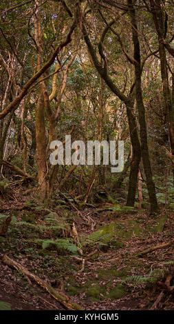 Vertikaler ein Waldweg im Anagagebirge, lorbeerwald Naturpark, Teneriffa, Kanarische Inseln, Spanien - Stockfoto