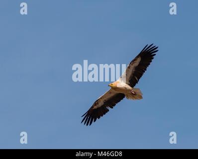 Nach Schmutzgeier (Neophron percnopterus) im Flug über die Insel Fuerteventura mit einem blauen Himmel im Hintergrund. - Stockfoto