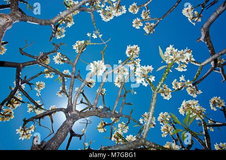 Eine Gruppe von schönen gelben Plumeria Blumen in voller Blüte im ...