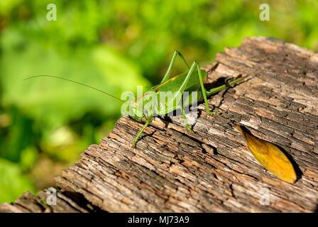 Frau Busch cricket Arten (Tettigonia) auf einem Stück verwittertes Holz. - Stockfoto
