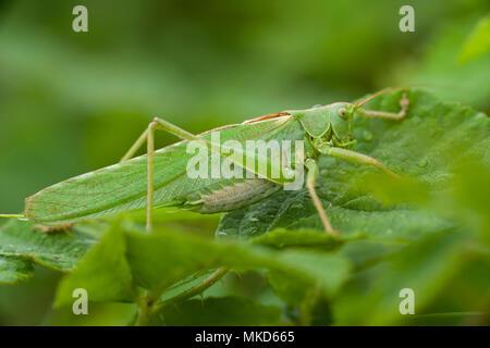 Super Green Bush - Kricket weiblich (Tettigonia Viridissima) auf einem Blatt von Brombeere (Rubus fructicosus), Entre-deux-Mers, Gironde, Aquitaine, Frankreich. - Stockfoto