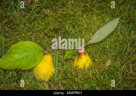 Zwei frisch geernteten Quitten im Gras. - Stockfoto