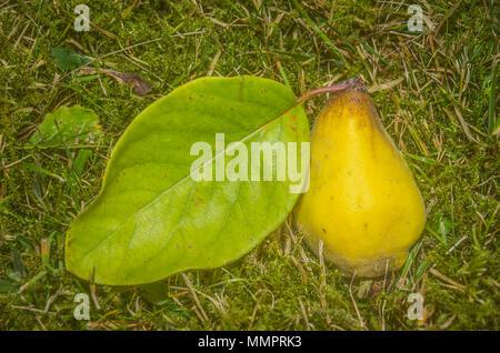 Frisch Quitte Obst mit Blatt in das Gras geerntet. - Stockfoto